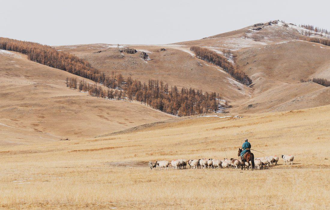 Eleveur de moutons Mongolie