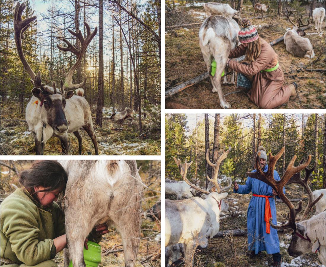 Participation à la traite des rennes