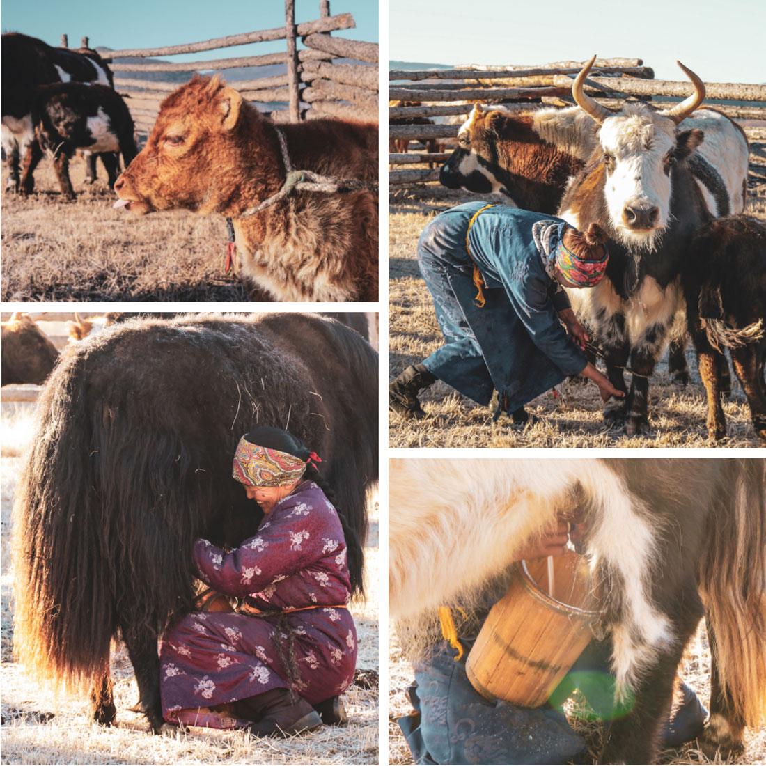 traite matinale des Yaks