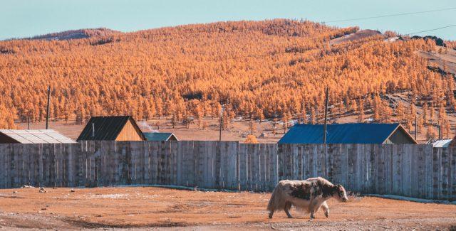 un yak en mongolie