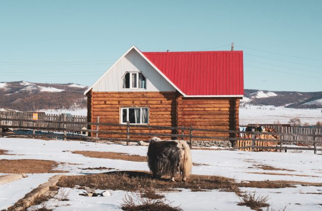 yak devant une maison